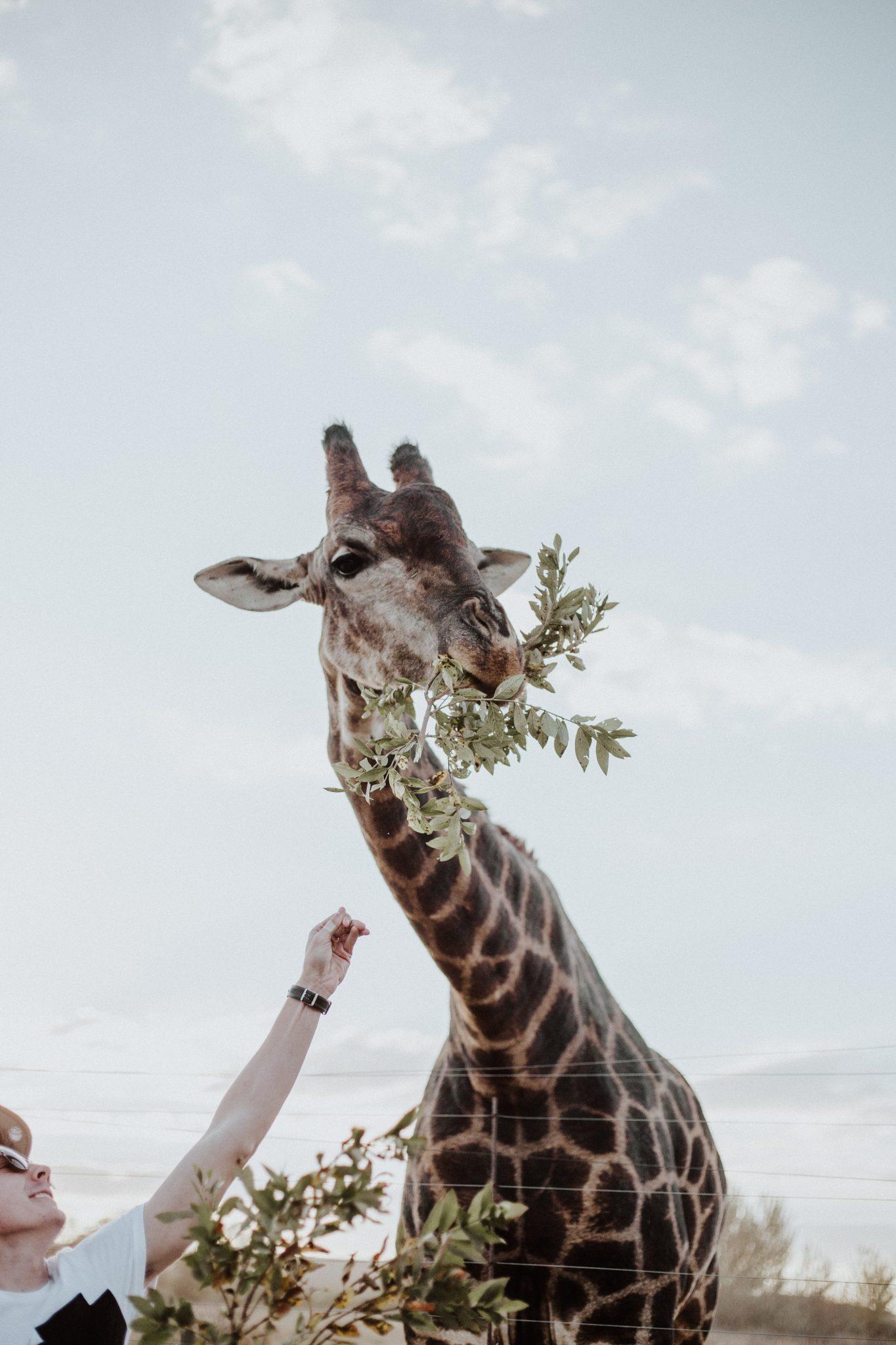 Mand fodrer giraf med blade